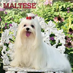 Small Dog Breeds, Small Breed, Small Dogs, Dog Calendar, 2021 Calendar, Maltese Dog Breed, Brown Trout, Foil Stamping, Little Dogs