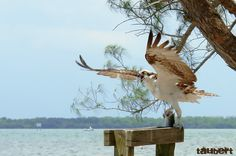 Osprey with a Fresh Catch - Sanibel Causeway