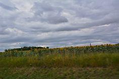 Pokusila jsem se vyfotit slunečnicové pole, ale maminka svištěla tak rychle, že se ostře nedalo...
