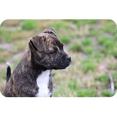 Jade   Companion Pet Rescue & Transport of New England   Glastonbury, Connecticut   Pets.Overstock.com