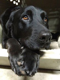 Mind Blowing Facts About Labrador Retrievers And Ideas. Amazing Facts About Labrador Retrievers And Ideas. Black Lab Puppies, Cute Puppies, Cute Dogs, Dogs And Puppies, Corgi Puppies, Black Labs Dogs, Labrador Puppies, Samoyed Dogs, Black Labrador Retriever