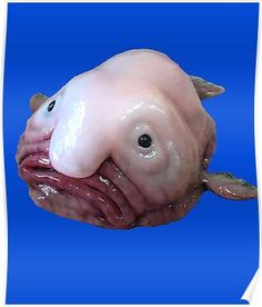 'Blob Fish' Poster by ttuniques Ugly Animals, Cute Animals, Blobfish, Weird Fish, Underwater Creatures, Animal Projects, Ocean Life, Marine Life, Sea Creatures