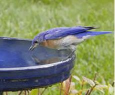 Keep your birdbaths clean for bluebirds and all of your bird visitors. Develop a quick routine with tips from our blog.