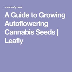 A Guide to Growing Autoflowering Cannabis Seeds | Leafly