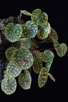 Orchid (Lepanthes calodictyon)