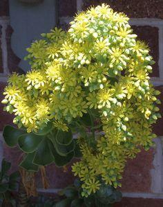 Yellow Aeonium Flowers