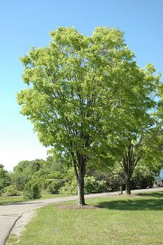 Green Vase Zelkova (Zelkova serrata 'Green Vase') at Connon Nurseries CBV