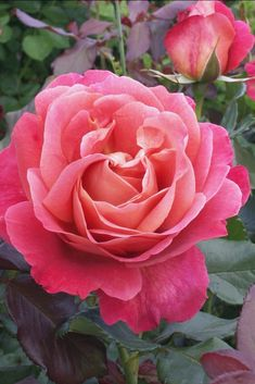 'Belle Epoque' | Hybrid Tea rose