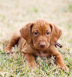 A Vizsla Puppy, A Blessing for Your Family - #Vizslas #Puppies