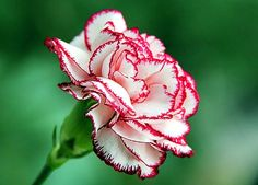 Carnations are my favorite; stated, a , former, pinner; and, I, like them; too!