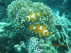 Nemo fish..