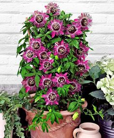 24 Best Vines for Containers   Climbing Plants For Pots   Balcony Garden Web
