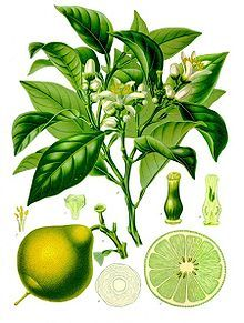Bergamot - essential oil is expressed from the skin of the fruit.