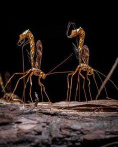 Giant Ichneumon Wasps Photo by Igor Kovalenko -- National Geographic Your Shot