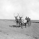 """Two bull elk pull a carriage owned by """"Prairie Dog"""" O'Byrne in Colorado, 1890s [960x746] - Imgur"""