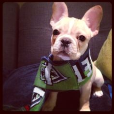 Frenchie wearing a Seattle Sounders FC Scarf...I am in LOVE!!