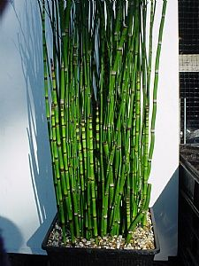 Equisetum - In containers