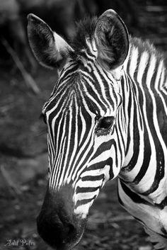 Zebra on BW