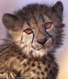 A sweet, golden-eyed cheetah cub is pictured in Namibia. Photo by: Steve Bloom Animals And Pets, Baby Animals, Cute Animals, Wild Animals, I Love Cats, Big Cats, Lynx, Beautiful Cats, Animals Beautiful