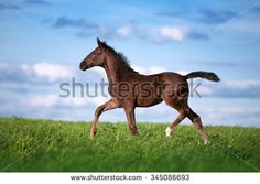 Beautiful little brown colt sports field against the blue sky. The horse gallops across the field