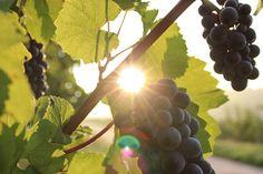 Масло виноградных косточек и его польза для волос