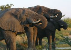 Experience a luxury safari in South Africa at Ulusaba, Sir Richard Branson's Private Safari Game Reserve. Enjoy twice daily game drives and unforgettable views. African Elephant, African Animals, African Safari, Group Of Elephants, Save The Elephants, Safari Game, Private Safari, David Sheldrick Wildlife Trust, African Love