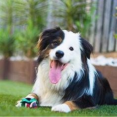 This #bordercollie has a #beautiful and unique coat colour and pattern don't you…