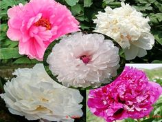 Chinese peony plants from nursery