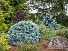 I can remember way back when I was a young lad, just beginning to learn about the amazing beauty of conifers, and specifically blue conifers. When I think of blue conifers, I immediately think of d… Amazing Gardens, Beautiful Gardens, Blue Spruce Tree, Landscape Design, Garden Design, Types Of Christmas Trees, Evergreen Garden, Large Plants, Small Trees