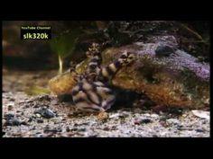 Blue Ringed Octopus. 3 min neat video