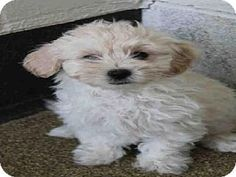 Another MalChiPoo Maltese, Chihuahua, Poodle mix a