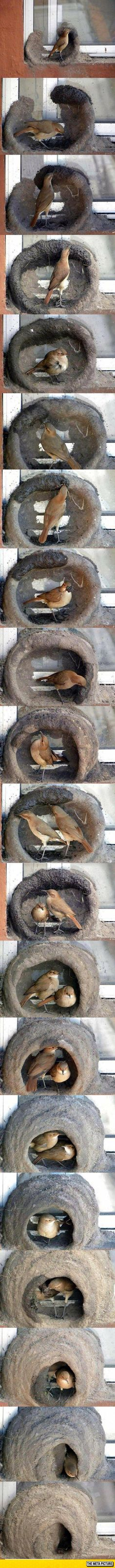 Birds Building A Nest. Can You Guest How Long They Take?