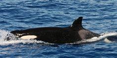 """Schwertwal MATRIARCHIN - Übernehmen Sie die Patenschaft für den Orca """"Matriarchin"""" und helfen Sie den Tieren in der Strasse von Gibraltar."""