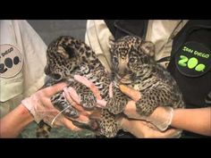 Keepers report that our jaguar cubs are a boy and a girl!