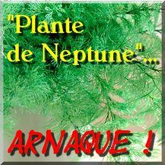 """Voici pourquoi j'ai adhéré au Réseau Anti Arnaques (à découvrir !) RESUME : la """"plante de Neptune"""" ... ... n'est pas une plante, mais le squelette d'un animal marin de la famille du corail. Un squelette de corail mort ! Voilà ce que l'on vous propose..."""