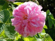 Rose de Puteaux a pour origine la rose de Damas, née en Syrie et importée en France par Robert de Brie à son retour de croisade en 1254. La rose de Damas compte plus d'une centaine de variétés dont la rose de Puteaux, cultivée pour les fleurs séchées et très recherchée par les parfumeurs. Fleurs semi-doubles, légèrement aplaties, d'un rose pur.