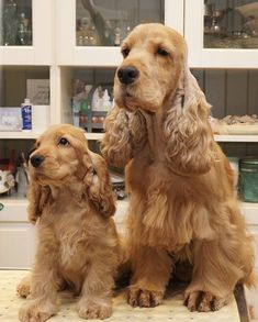Dog Breeds Names .Dog Breeds Names Cute Baby Dogs, Baby Puppies, Cute Baby Animals, Cute Puppies, Dogs And Puppies, Golden Cocker Spaniel, Cocker Spaniel Puppies, Beautiful Dogs, Animals Beautiful