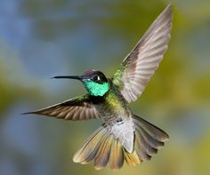 Magnificent Hummingbird | Male Magnificent Hummingbird