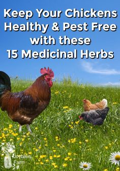 Grow these 15 herbs for chickens near the chicken coop. They will improve immunity, keep them parasite free, reduce their stress, and preve. Plants For Chickens, Food For Chickens, Keeping Chickens, Raising Chickens, Chickens Backyard, Backyard Farming, Chicken Egg Colors, Easy Herbs To Grow, Hanging Herbs