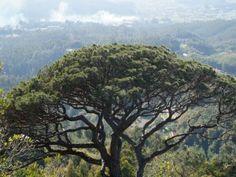 Pine Tree Skyline