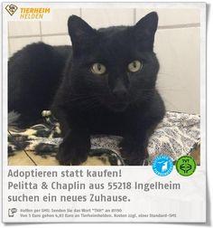 Pelitta und Chaplin sind als Abgabekatzen ins Tierheim Ingelheim gekommen.  http://www.tierheimhelden.de/katze/tierheim-ingelheim/ekh/pelitta_&_chaplin/10195-1/  Bisher sind die beiden reine Wohnungskatzen gewesen. Sie kennen Hunde und Kinder und sind sehr menschenbezogen. Zusammen suchen sie nun nach einem neuen Zuhause mit einer Couch zum Teilen.