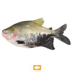 Foto peixe tambaqui