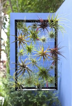 THIS!!! This is how I can hang all the tillandsias in the hubs' office!!!  Take a frame and create a nice fishing line or wire grid!  Easy to take the plants out for their weekly drenching. Yay!!!