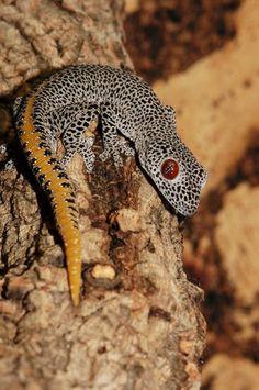 Golden-tailed gecko (Strophurus taenicauda) of Queensland, Australia