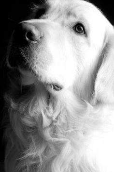 Beautiful Golden Retriever black and white