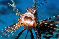 Picture of a lionfish in the Red Sea