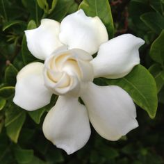 Gardenia - my favorite scent and flower