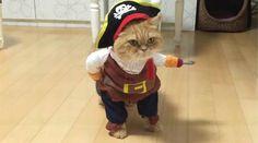 Le maître de ce chat a vraiment beaucoup d'imagination. Il lui a confectionné un déguisement très insolite. Le chat-pirate est fin prêt pour fêter Halloween.