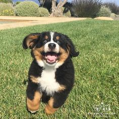 From @bernesestella: After three days of rain the sun is finally out! #cutepetclub [source: http://ift.tt/2cwi4yS ]