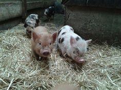 More tea cup pigs, Devon